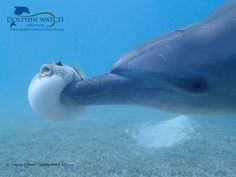 Dolphins deliberately get high on puffer fish! 🐬🐡 ⠀⠀⠀⠀⠀⠀⠀⠀⠀⠀⠀⠀ ⠀⠀⠀⠀⠀⠀⠀⠀⠀⠀⠀⠀ Dolphins are thought of as one of the most intelligent species… Cute Funny Animals, Cute Baby Animals, Animals And Pets, Wale, Delphine, Cute Animal Pictures, Marine Life, Animal Memes, Sea Creatures
