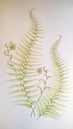 Watercolour and pencil of Fern