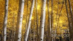 A look deep into a Forest of Aspen in The San Juan Scenic Byway on Colorado's Western Slope.  The month of September is the ideal time to witness a gilded aspen spectacle on a scenic drive, but you have to time it right: The color lasts only about a week in most places.