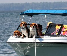 The Beagle Boys Go Fishing | ..or maybe just sun bathing. They carefully checked out each boat as it went by.