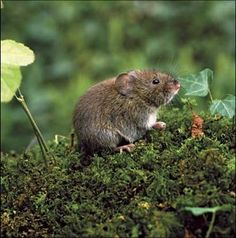 Polygamous meadow vole (how do they know that, those voyeurs!)