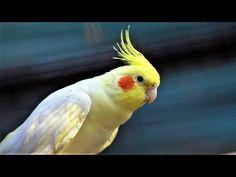 Calopsita Treinamento Vários Cantos Ensinar Cantos de Calopsitas - YouTube Cockatiel, Foto E Video, Birds, Youtube, Animals, Parrots, Dragon Ball, Kawaii, Animals And Birds