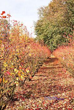 Autumn Blueberry Rows, Sauvie Island, Oregon.  Photo: Gary Grossman, via Flickr