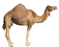 Image result for camels clipart