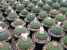 How to Grow and Care for Artichoke Cactus - See more at: http://worldofsucculents.com/how-to-grow-and-care-for-artichoke-cactus