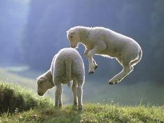 Seriously, sheep?!