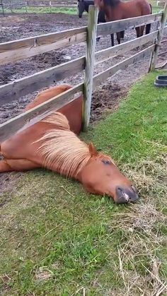 Turns out the grass IS greener on the other side!-Turns out the grass IS greener on the other side! Turns out the grass IS greener on the other side! Funny Horse Videos, Funny Horse Memes, Funny Horses, Cute Horses, Pretty Horses, Funny Animal Videos, Cute Funny Animals, Horse Love, Funny Animal Pictures