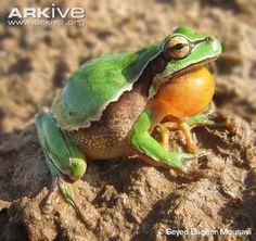 Lemon-yellow tree frog vocalising