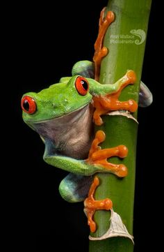 Lagertha, the Red-Eyed Tree-frog