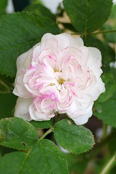 Portland Rose: Rosa 'Marie de St Jean' (France, 1869) Mainly white rose with a very strong fragrance.