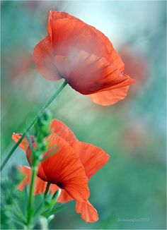 poppies in the meadow by *SvitakovaEva