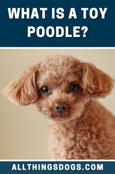 What is a Toy Poodle? As their name implies, the toy Poodle belongs to the toy group. This group of dogs may be small in size but they definitely have big personalities. Read our guide to learn more about them. #toypoodle #whatisatoypoodle #poodle