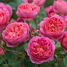 """Boscobel """"David Austin, las flores de una forma magnífica de color salmón intenso, las primeras en los botones que se abren al principio en jolies coupelles, luego el progreso del épanouis y las flores en la forma perfecta de la formación de la rosetón clásica."""
