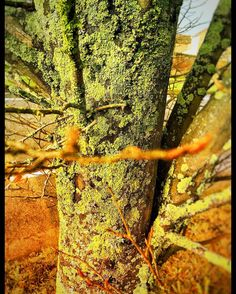 #lichens cover all of this #treetrunk