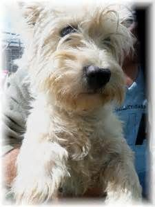 west highland terrier in front of french home - Yahoo Image Search Results
