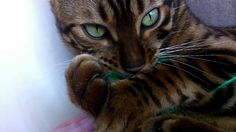 bengal cat male brown rosetted