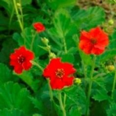 View Large Image for Geum - Mrs Bradshaw Seeds - 250 Seeds