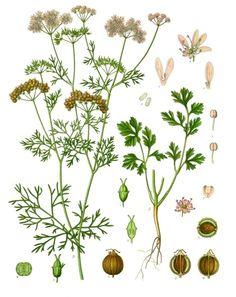 Coriandrum sativum - Köhler–s Medizinal-Pflanzen-193 - Koriander – Wiktionary