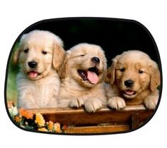 Dog Breeds an adorable look at why Golden Retrievers are the best dogs around - an adorable look at why Golden Retrievers are the best dogs around Baby Puppies, Cute Puppies, Dogs And Puppies, Cute Dogs, Doggies, Cute Puppy Wallpaper, Animal Wallpaper, Puppies Wallpaper, Hd Wallpaper