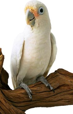 Goffin's cockatoo, also known as Tanimbar corella