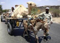 transports-bizarres-d-animaux-dormadaire-charette