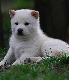Ainu or Hokkaido Inu Ken Big Dogs, I Love Dogs, Dogs And Puppies, Hokkaido Dog, Fluffy Animals, Medium Dogs, White Dogs, Funny Dogs, Dog Breeds