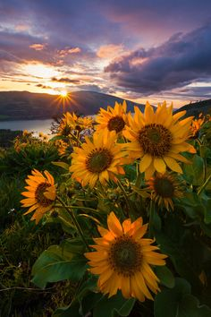 This beautiful I'd love to take a pic like this is part of Sunflower pictures - Aesthetic Iphone Wallpaper, Nature Wallpaper, Aesthetic Wallpapers, Sunflower Iphone Wallpaper, Flower Phone Wallpaper, Flower Backgrounds, Wallpaper Backgrounds, Nature Photography, Landscape Photography