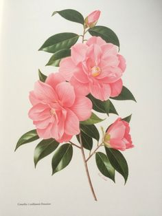 1960 Camellia X williamsii 'Donation' original vintage print - Paul Jones painting reproduction - botanical print - flower art - botany by NinskaPrints on Etsy https://www.etsy.com/uk/listing/463400811/1960-camellia-x-williamsii-donation