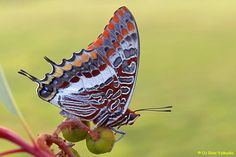 Two tailed pasha
