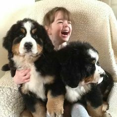 Berner puppies - yup, lapdogs for life!
