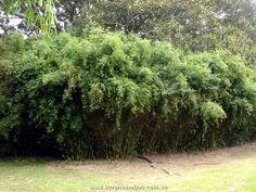 Golden Goddess Bamboo...non clumping--use as a backdrop along fence for privacy