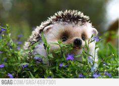 Baby hedgehog <3
