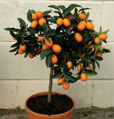 """Grow tiny oranges inside, year-round thanks to Calamondin Orange Trees""....looks like kumquats to me?!? kaw"