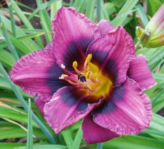 Daylily Black Eye (polymerous flower)