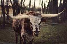 Texas Longhorn Steer (AHWagner Photography)