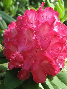 Black Sport rhododendron (Rhododendron 'Black Sport')