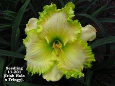 Daylily Seedling - Irish Halo x Fringy