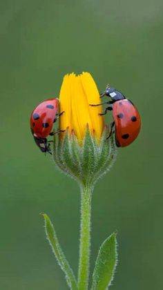 Ladybugs / Lady BirdsMore Pins Like This At FOSTERGINGER @ Pinterest
