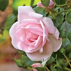 Our Favorite Climbing Roses: New Dawn