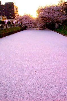The Meguro river in Tokyo.
