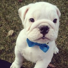 Itty Bitty #bulldog with a bow tie!