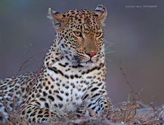 Leopard by Stephen Earle on 500px