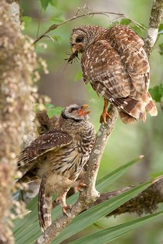 Owl mother and child