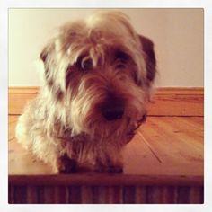 Wilfred. Mini wire haired dachshund. So CUTE.