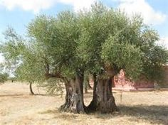 Olive Trees at Eumelia Organic Agrotourism Farm & Guest House, Laconia, Peloponnese, Greece Creator Of The Universe, Greek Olives, Wood Tree, Tree Forest, Olive Tree, Olive Oil, Greece, Tourism, Nature
