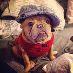 handsomedogs - S.P. in a cap and sweater!