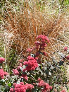 "Carex buchananii ""Firefox"" en  Sedum ""Red Cauli"""
