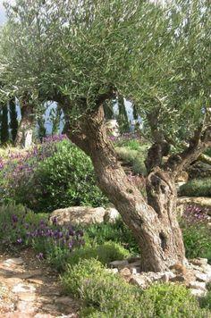 Mediterranean olive garden - a show garden at the RHS Spring Gardening Show, Mal. Mediterranean Garden Design, Tuscan Garden, Italian Garden, Dig Gardens, Outdoor Gardens, Olive Gardens, Provence Garden, Spanish Garden, Garden Trees