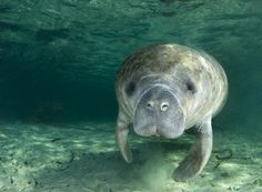 There's swimming, and then there's swimming with manatees! The Cozumel Manatee Swim and Chankanaab Park excursion will be the absolute highlight of your Cozu. Fort Myers Beach, Swimming With Manatees, Swimming Holes, Manatee Florida, Sea Cow, Crystal River, Thing 1, Endangered Species, Animals