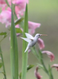 "View ""Albino Hummingbird"" Image at BirdsandBlooms"